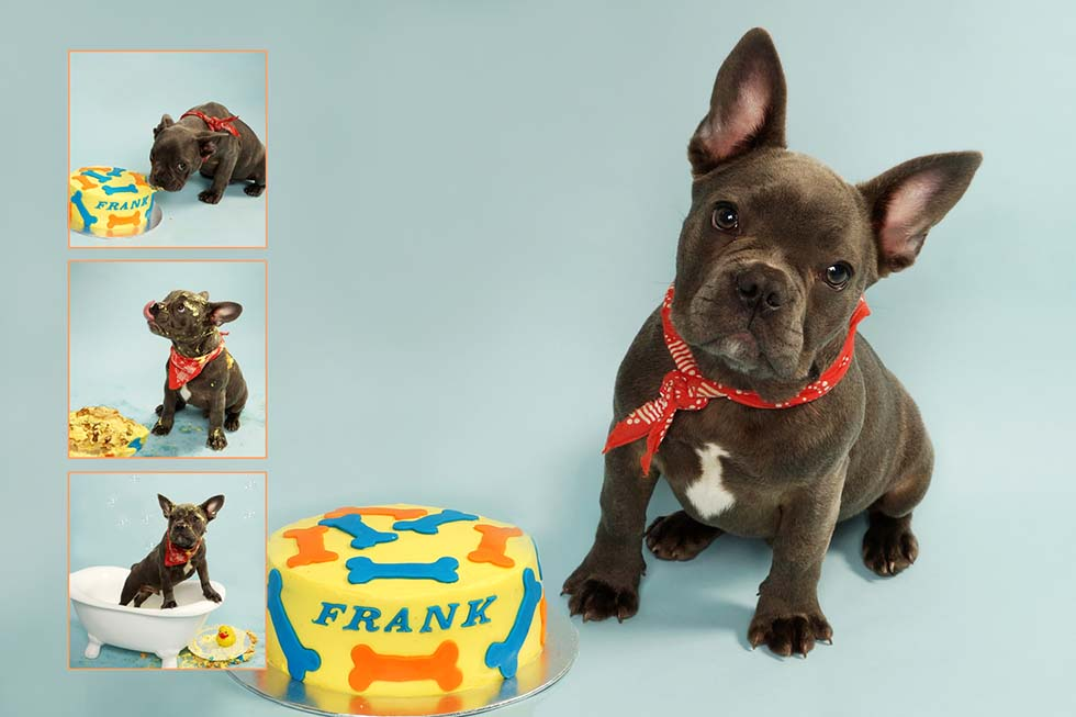 Pet Photography - Dog Smash, Puppy Smash, Cake Smash, cake smashing, oldham, manchester, northwest