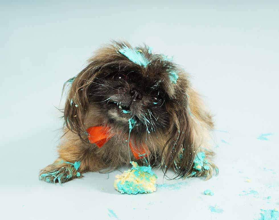 Pet Photography - Doggy Smash - Puppy Smash