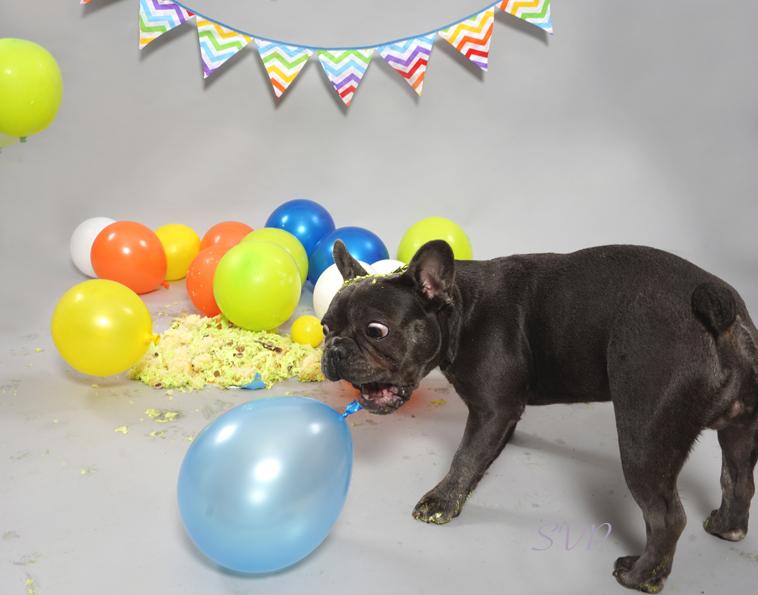 Dog Smash, Dog Cake Smash, Dog photographer