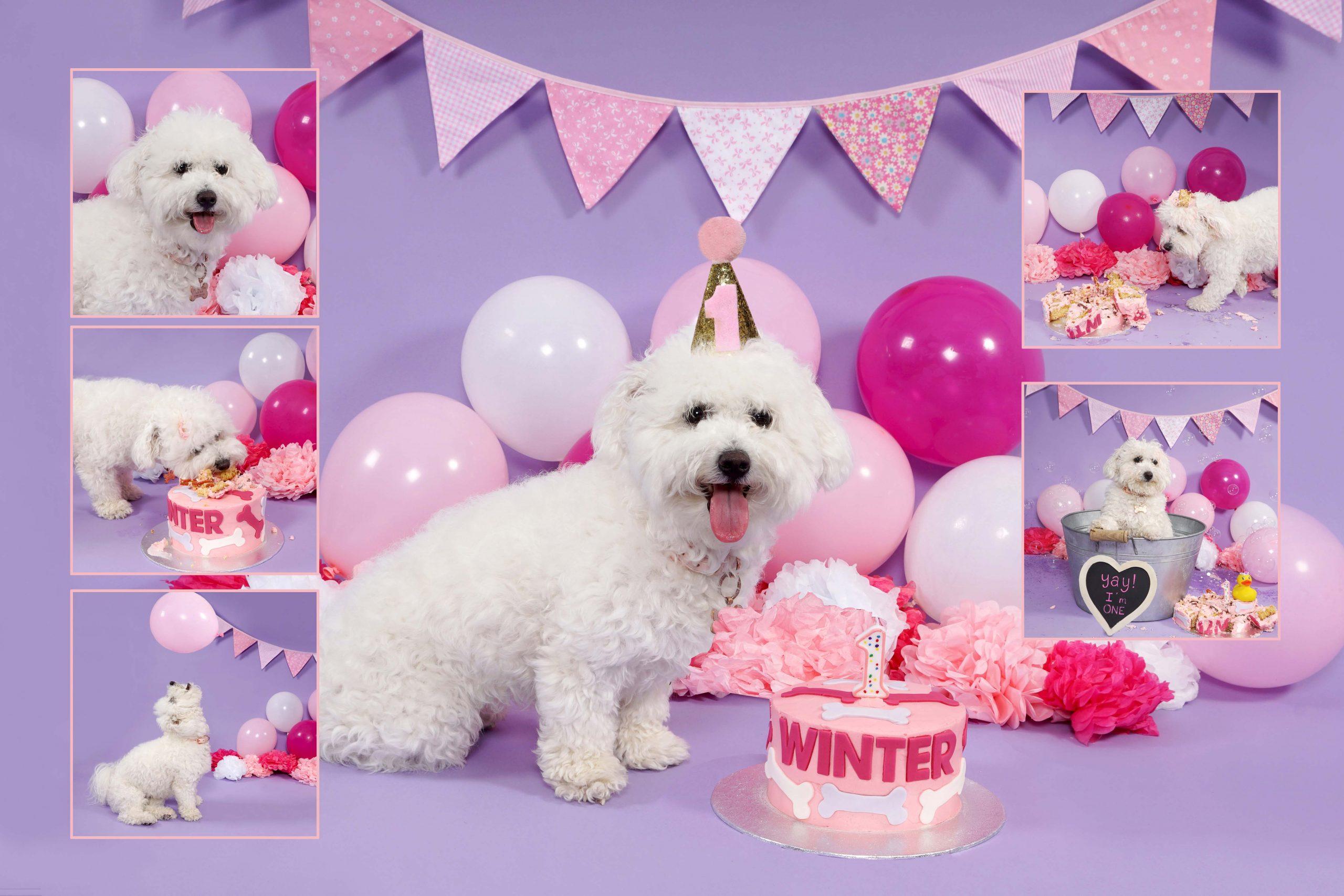 dog smash, dog cake smash, dog cake smashing, 1st birthday,dog cake smash photoshoot, pet photo shoot